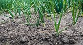 pic of green onion  - Young fresh green onion plants of newly sown onions in rows on the field at an organic farm