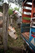 foto of vaquero  - Costa Rican ranch hand putting cow onto panel truck - JPG