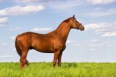 pic of stallion  - Exterior red stallion in green pasture against blue sky