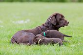 stock photo of puppies mother dog  - Female labrador retriever dog feeding her litter of adorable young brown pups - JPG