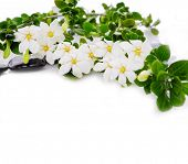 picture of gardenia  - Lying down gardenia with green plant on black pebbles  - JPG