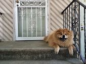 picture of dog-house  - Smiling chow chow guard dog resting on front steps of house - JPG