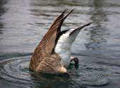 foto of canada goose  - Diving Canada Goose in placid water upside down - JPG