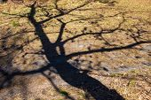 pic of early spring  - Shadow of the bare tree on the ground in early spring - JPG