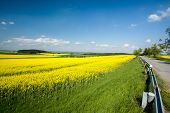 picture of rape  - Beautiful spring rural landscape with rape field and blue sky - JPG