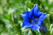 foto of trumpet flower  - Trumpet gentiana blue spring flower in garden for background - JPG