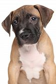 stock photo of staffordshire-terrier  - American Staffordshire terrier puppy isolated on a white background - JPG