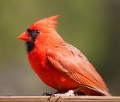 picture of cardinals  - Bright red male cardinal on a board with green behind  - JPG