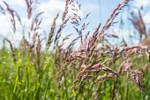 pic of hay fever  - Closeup of pink flowering species of grass with anther dust causing hay fever and sneezing - JPG