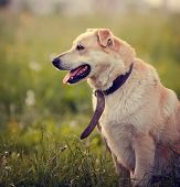 picture of mongrel dog  - Portrait of the big beige dog sitting in a grass - JPG