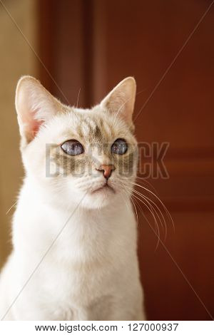 Young and graceful Mekong cat's indoors portrait