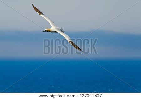 Northern gannet in flight above the ocean