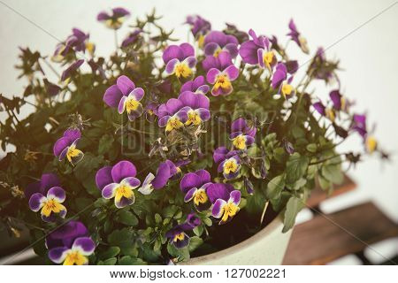 Viola flowers violet and yellow densely blooming in a pot
