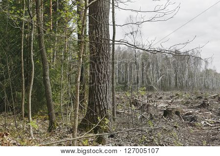 deforestation, lifeless part of the forest ecology. stumps and fallen trees on the backdrop of surviving forest.