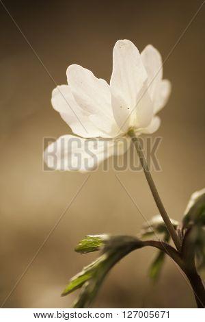 a wood anemone, thimbleweed or anemone nemorosa