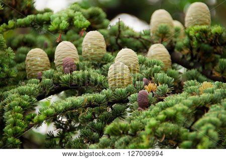 many Lebanese cedar cones on the tree