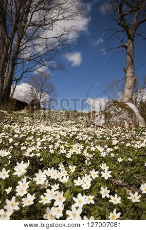plenty of wood anemones blossoming wildly  all over