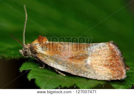 Eulia ministrana tortrix micro moth. Small British insect in the family Tortricidae, in the order Lepidoptera, at rest