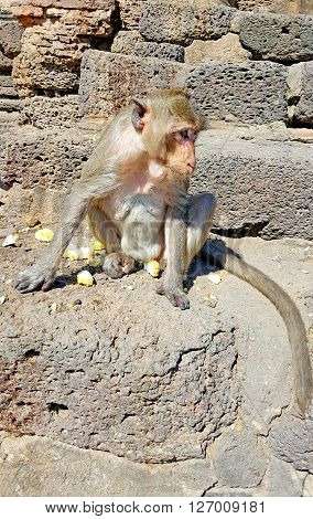 Monkey sitting on the ground at temple in Thailand