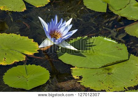 Blue Lotus Flower And Lilly Pads On Pond