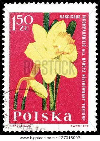 POLAND - CIRCA 1964 : Cancelled postage stamp printed by Poland, that shows Narcissus.