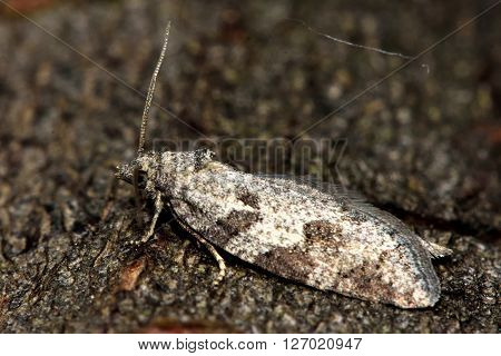 Grey tortrix (Cnephasia stephensiana) micro moth in profile. Small British insect in the family Tortricidae, in the order Lepidoptera, at rest