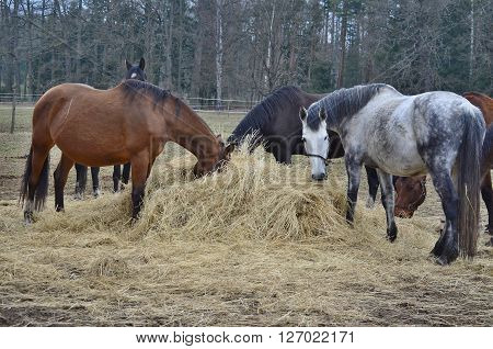 brown and piebald horses eating hay . South Bohemia