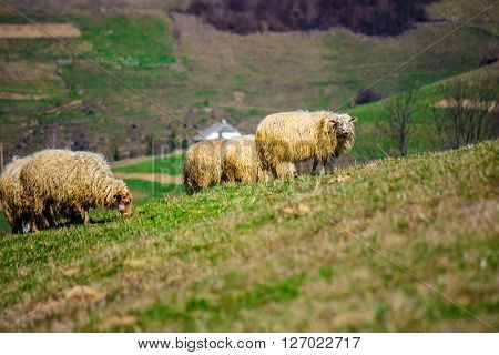 Flock Of Sheep On The Meadow Near  Village