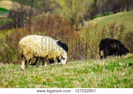 rural landscape with flock of sheep on the hillside meadow in Carpathians