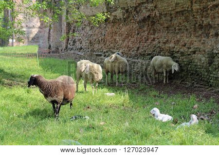 some sheep grazing in the meadow in the shadow of the walls of Ferrara
