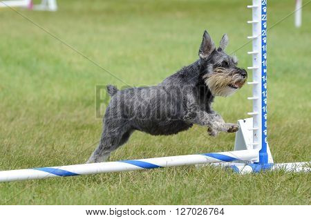 LAKE ELMO, MN - JUNE 8 2016: Miniature Schnauzer Leaping Over a Jump at Dog Agility Trial