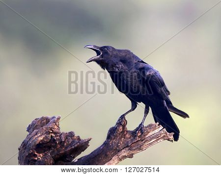 Common raven sitting on a branch with open beak