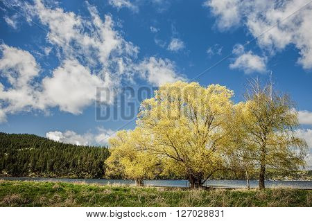 Beautiful yellow leaved trees under a blue sky at Liberty Lake in Washington.