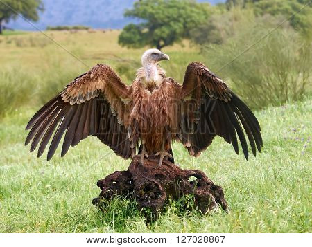Griffon vulture sitting in its habitat with open wings