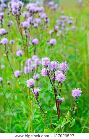Cirsium arvense (Creeping Thistle) flowers on meadow