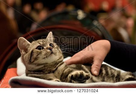 Little british shorthair cat in nice blurry background looking up