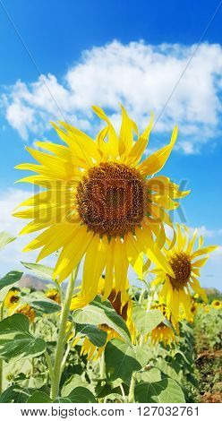 Sunflower blossom  in field under bluesky in Thailand