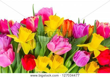 border of fresh pink, purple and red  tulips and daffodils   isolated on white background