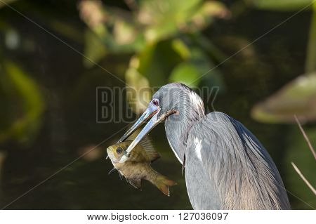 Tricolored Heron uses powerful bill to stab fish