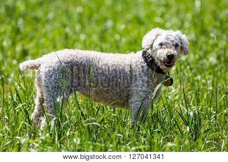 Portrait Of A White Poodle