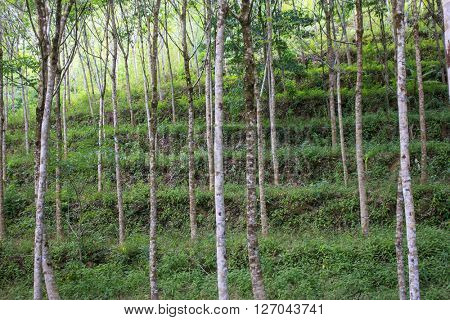 Tree trunks in rubber plantation