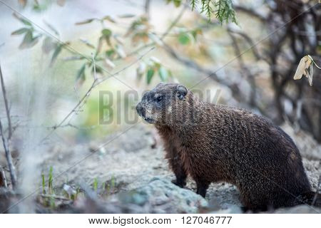 Cute groundhog announcing the end of winter