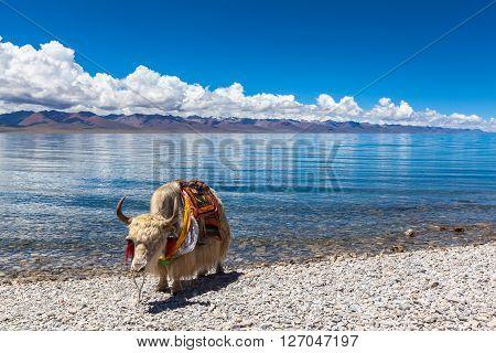 White yak standing on the lakeside of Namtso Tibet China