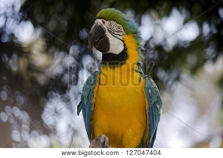 this is a close of a blue and gold macaw