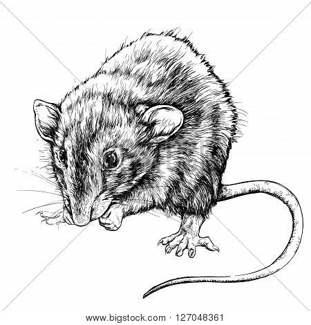 Sketch of small rat. Vector Illustration isolated on white