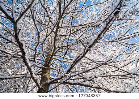 Beautiful tree with snow clinging to the branches against a bright blue sky.