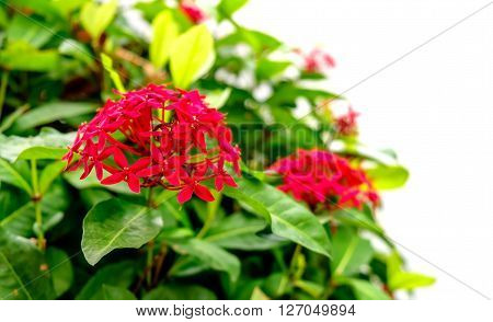 Red Pink Ixora Flower with blur and white background. Close up selective focus with shallow depth of field - ideal use for background. Soft focus image. ** Note: Shallow depth of field