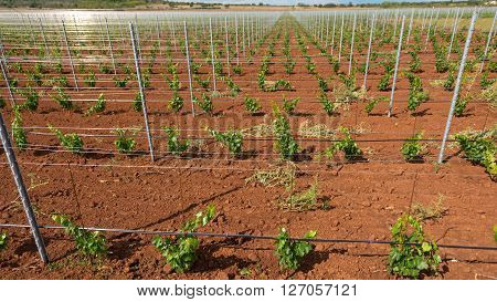 Large viticulture with lots of grape saplings