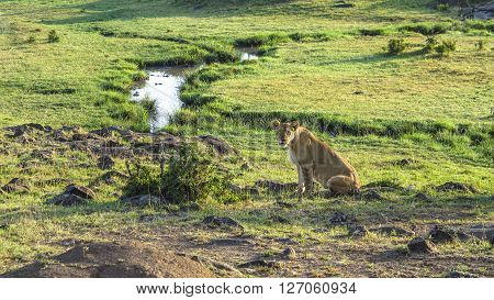 Lion In Masai Mara National Park.
