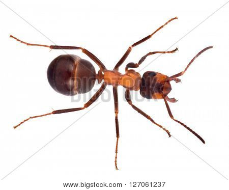 single large brown forest ant isolated on white background